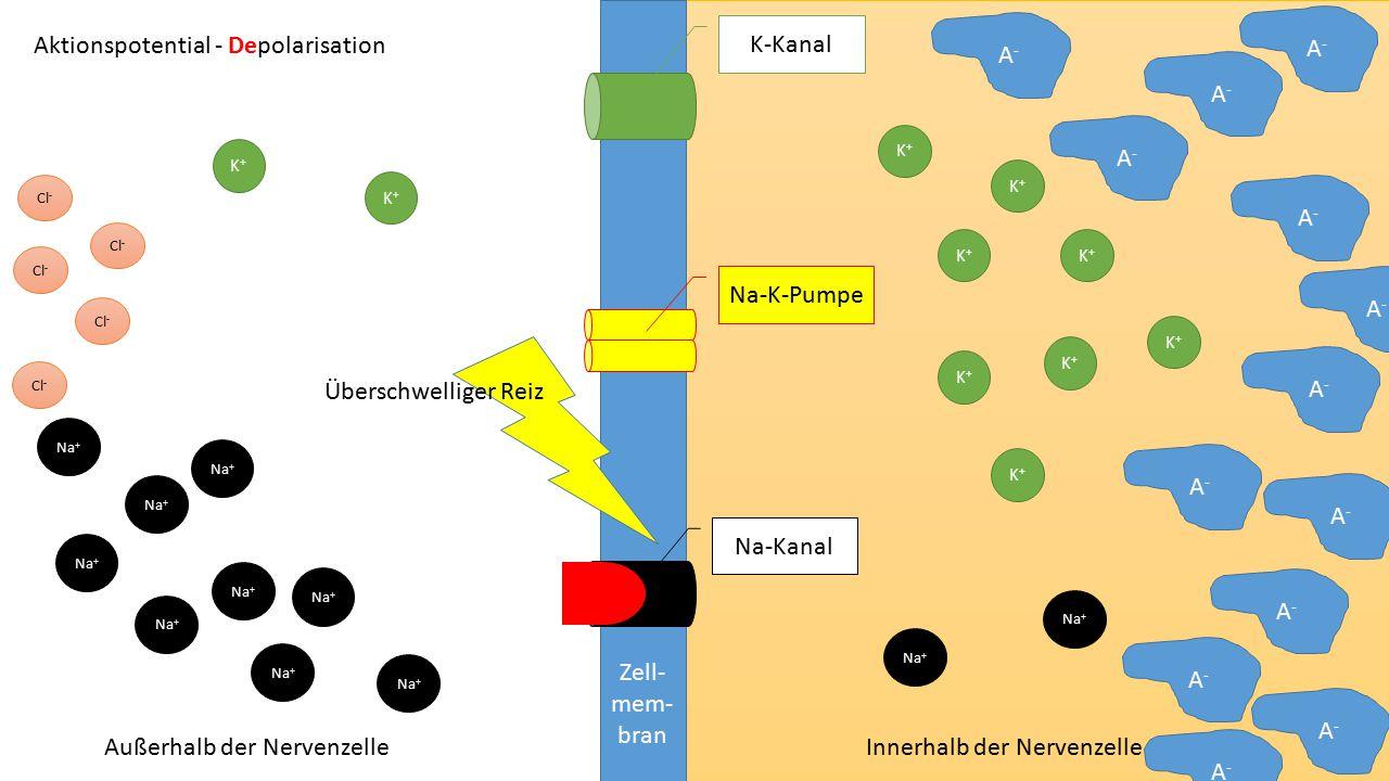 Zell- mem- bran Na-Kanal K-Kanal Na-K-Pumpe Aktionspotential - Repolarisation Außerhalb der Nervenzelle Innerhalb der Nervenzelle K+K+ K+K+ K+K+ K+K+ K+K+ K+K+ K+K+ K+K+ K+K+ K+K+ Na + A - Cl - A - Cl -