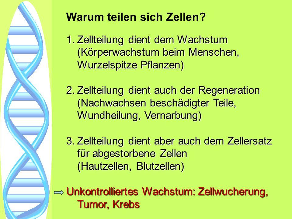 Warum teilen sich Zellen? 1.Zellteilung dient dem Wachstum (Körperwachstum beim Menschen, Wurzelspitze Pflanzen) 2.Zellteilung dient auch der Regenera