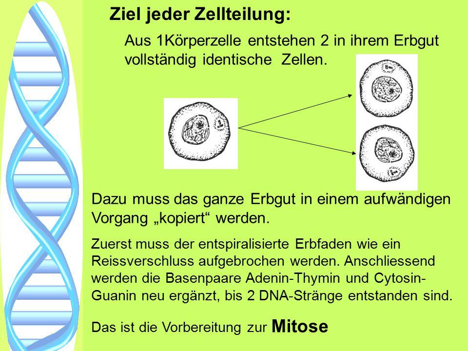 Ziel jeder Zellteilung: Aus 1Körperzelle entstehen 2 in ihrem Erbgut vollständig identische Zellen. Dazu muss das ganze Erbgut in einem aufwändigen Vo