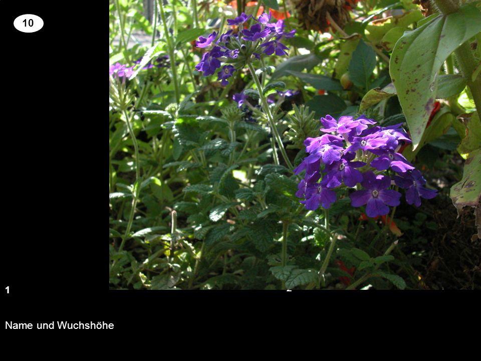 Name und Wuchshöhe 13 2 10 Setzen Sie an der richtigen Stelle die Kreuze um für die genannten Pflanzen richtige Blütenfarbe und Wuchshöhe zu zuordnen.