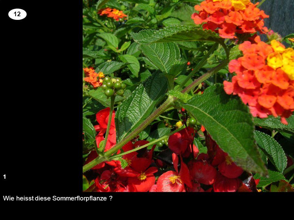 Wie heisst diese Sommerflorpflanze ? 13 2 12 Setzen Sie an der richtigen Stelle die Kreuze um für die genannten Pflanzen richtige Blütenfarbe und Wuch
