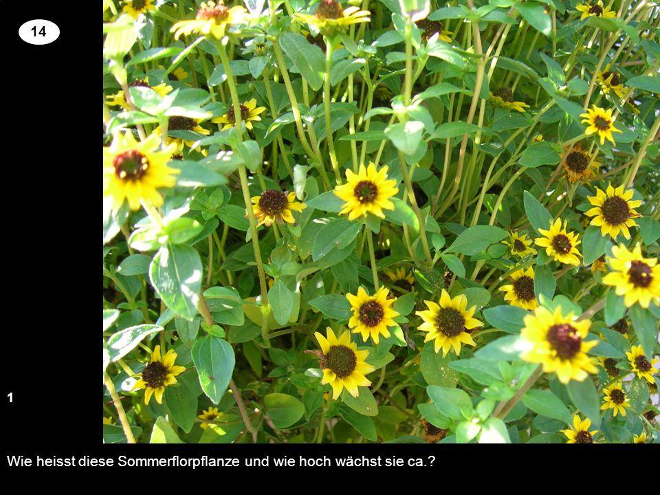 Wie heisst diese Sommerflorpflanze und wie hoch wächst sie ca.? 13 2 14 Setzen Sie an der richtigen Stelle die Kreuze um für die genannten Pflanzen ri