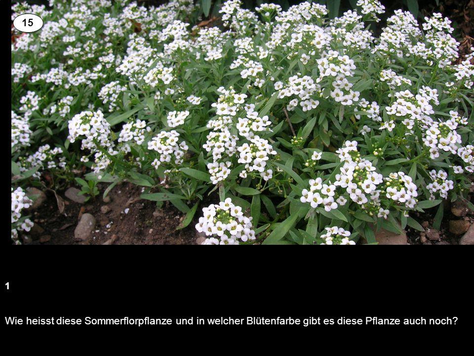 Wie heisst diese Sommerflorpflanze und in welcher Blütenfarbe gibt es diese Pflanze auch noch? 1 15
