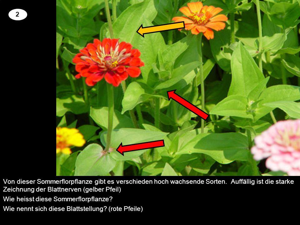 Von dieser Sommerflorpflanze gibt es verschieden hoch wachsende Sorten. Auffällig ist die starke Zeichnung der Blattnerven (gelber Pfeil) Wie heisst d