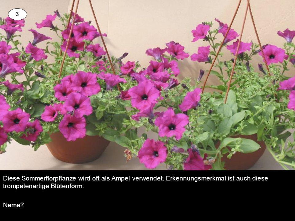 Diese Sommerflorpflanze wird oft als Ampel verwendet. Erkennungsmerkmal ist auch diese trompetenartige Blütenform. Name? 3