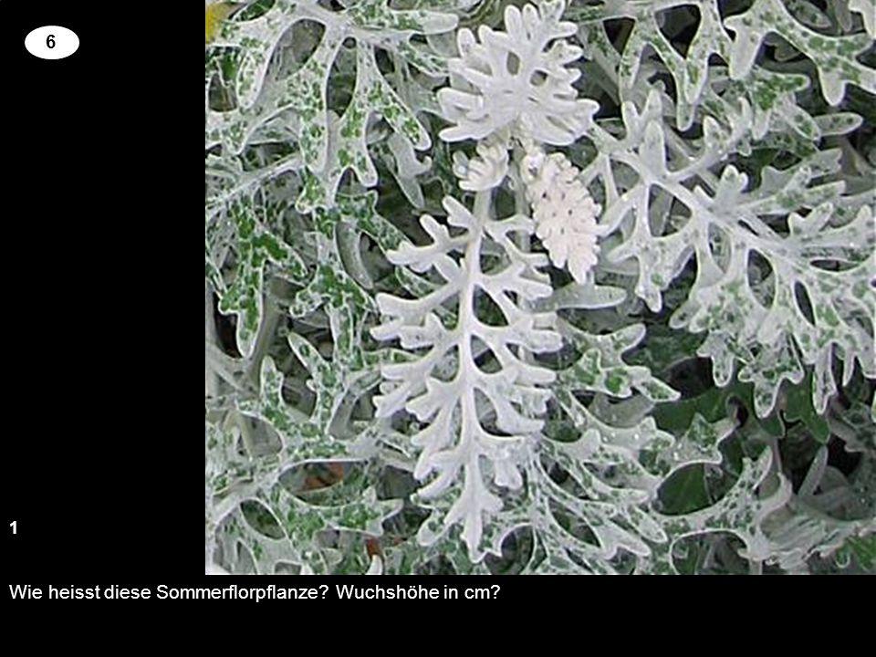 Wie heisst diese Sommerflorpflanze? Wuchshöhe in cm? 1 2 6