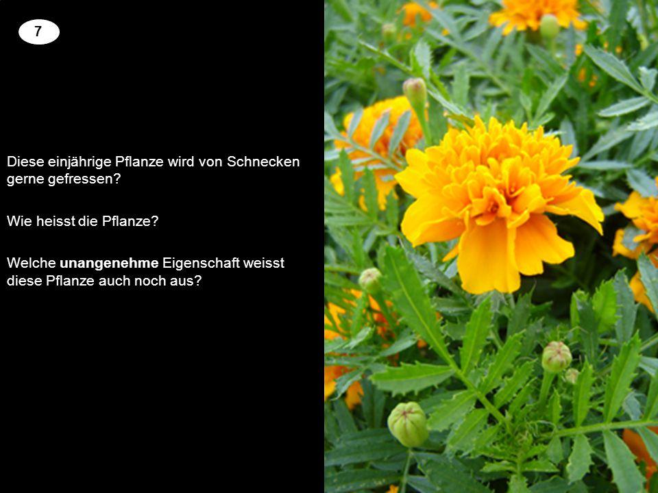 Diese einjährige Pflanze wird von Schnecken gerne gefressen? Wie heisst die Pflanze? Welche unangenehme Eigenschaft weisst diese Pflanze auch noch aus