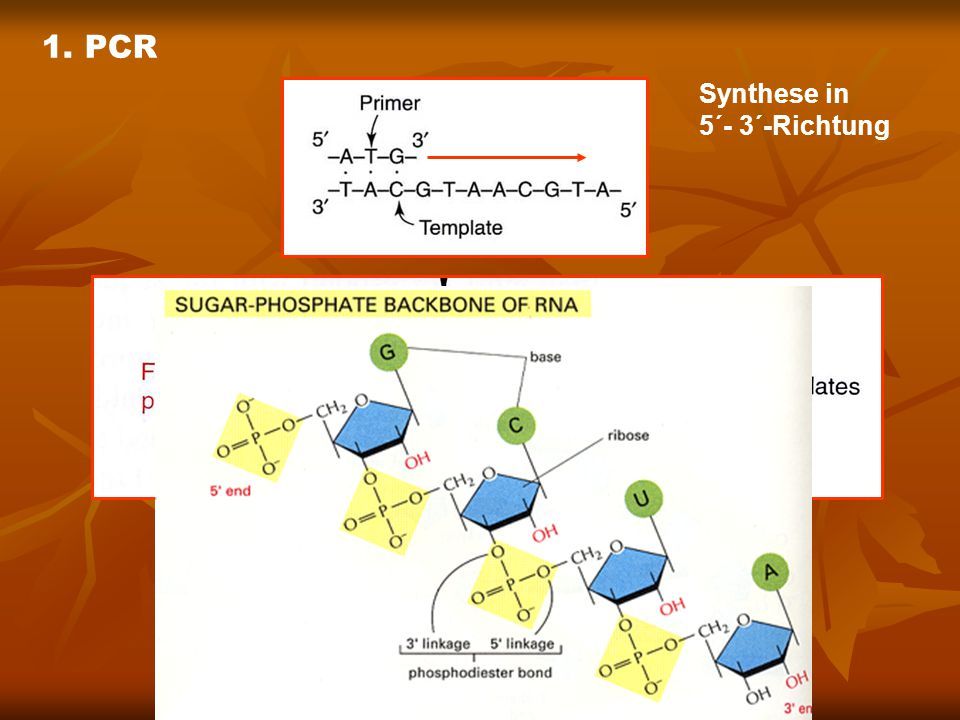 1. PCR Synthese in 5´- 3´-Richtung