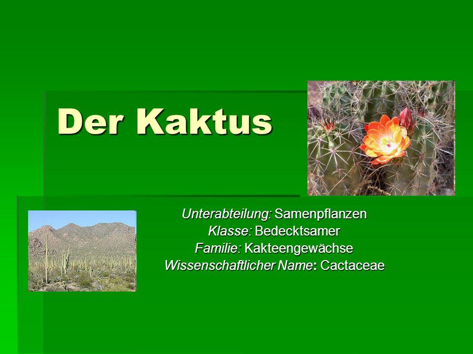 Der Kaktus Unterabteilung: Samenpflanzen Klasse: Bedecktsamer Familie: Kakteengewächse Wissenschaftlicher Name: Cactaceae