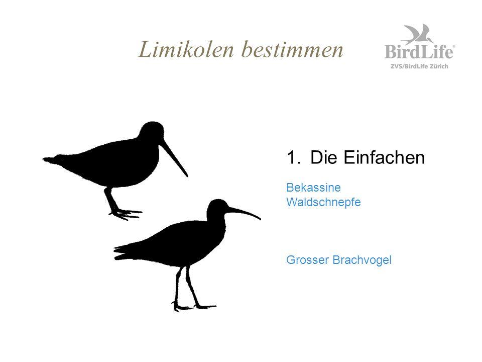 Limikolen bestimmen 1.Die Einfachen Bekassine Waldschnepfe Grosser Brachvogel