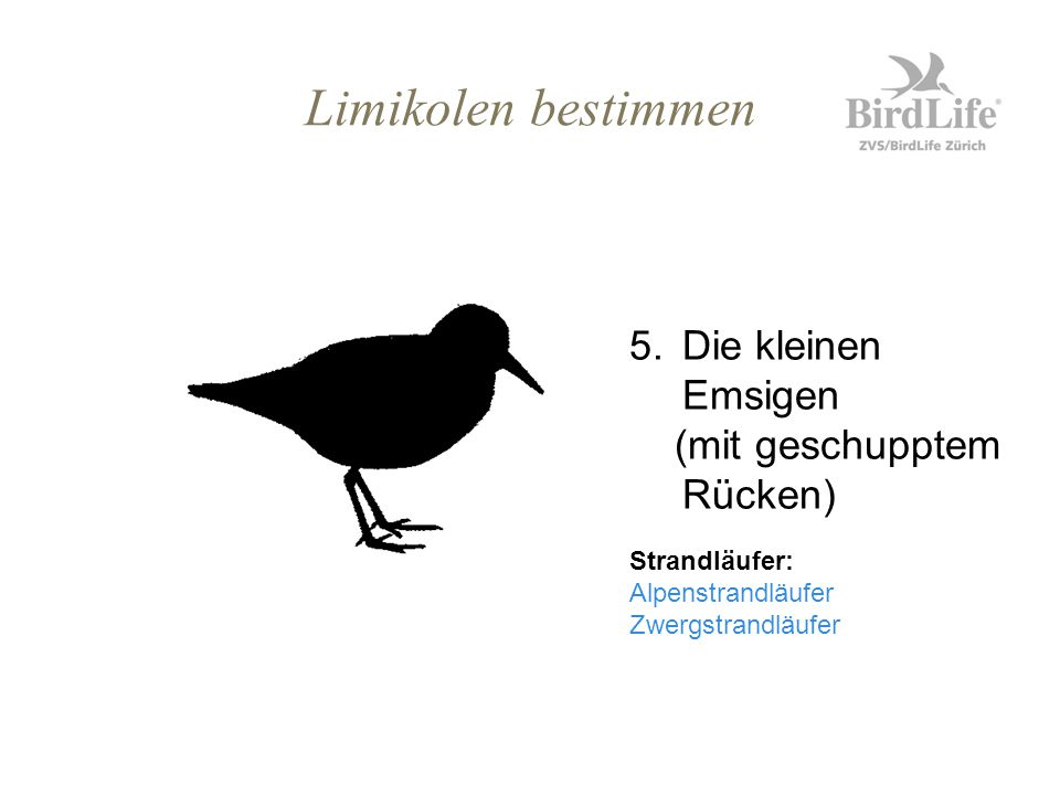 Limikolen bestimmen 5.Die kleinen Emsigen (mit geschupptem Rücken) Strandläufer: Alpenstrandläufer Zwergstrandläufer