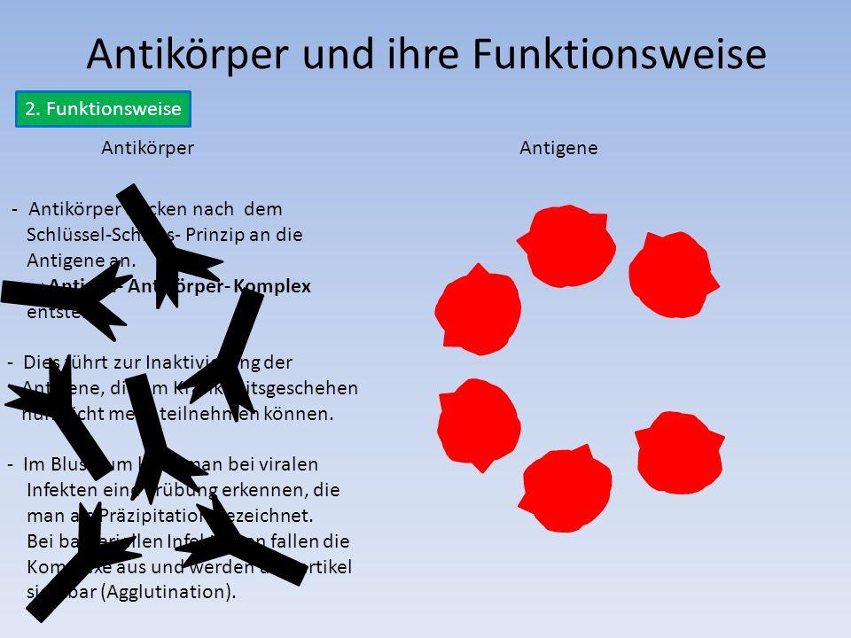 Antikörper und ihre Funktionsweise 2. Funktionsweise AntikörperAntigene - Antikörper docken nach dem Schlüssel-Schloss- Prinzip an die Antigene an. 
