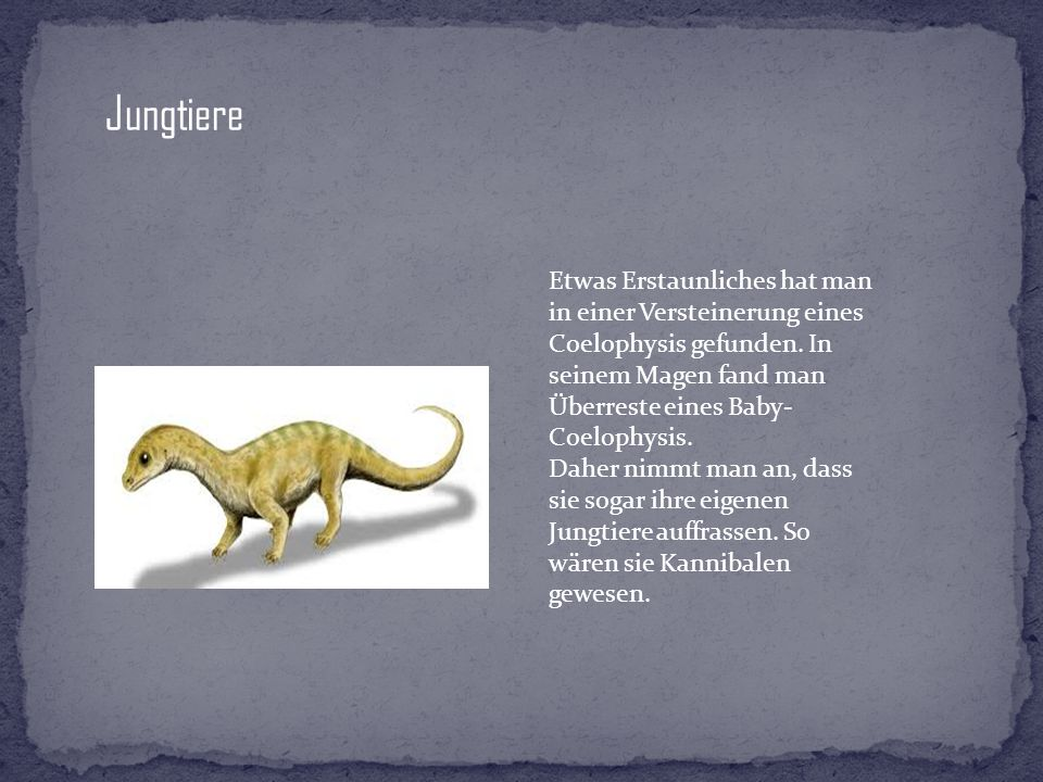 Jungtiere Etwas Erstaunliches hat man in einer Versteinerung eines Coelophysis gefunden. In seinem Magen fand man Überreste eines Baby- Coelophysis. D