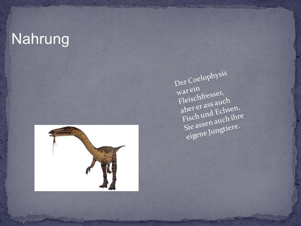 Nahrung Der Coelophysis war ein Fleischfresser, aber er ass auch Fisch und Echsen, Sie assen auch ihre eigene Jungtiere.