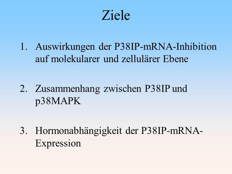Ziele 1.Auswirkungen der P38IP-mRNA-Inhibition auf molekularer und zellulärer Ebene 2.Zusammenhang zwischen P38IP und p38MAPK 3.Hormonabhängigkeit der P38IP-mRNA- Expression