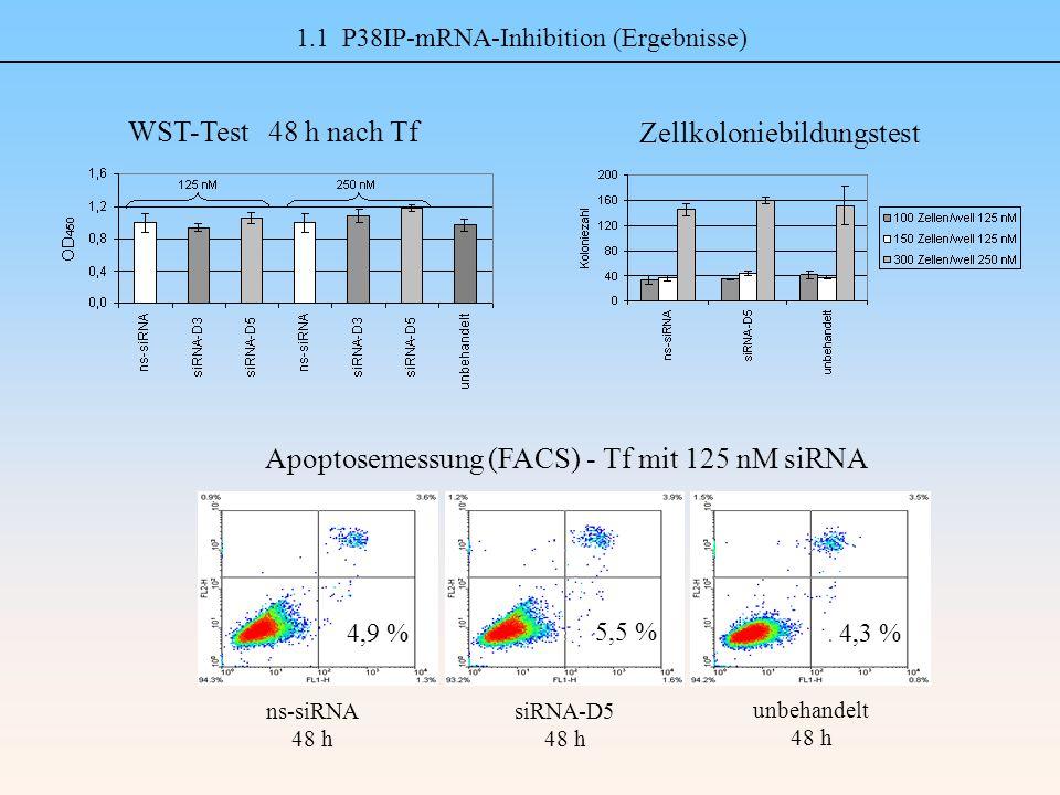 1.1 P38IP-mRNA-Inhibition (Ergebnisse) unbehandelt 48 h siRNA-D5 48 h 5,5 % ns-siRNA 48 h 4,9 %4,3 % Apoptosemessung (FACS) - Tf mit 125 nM siRNA Zellkoloniebildungstest WST-Test 48 h nach Tf