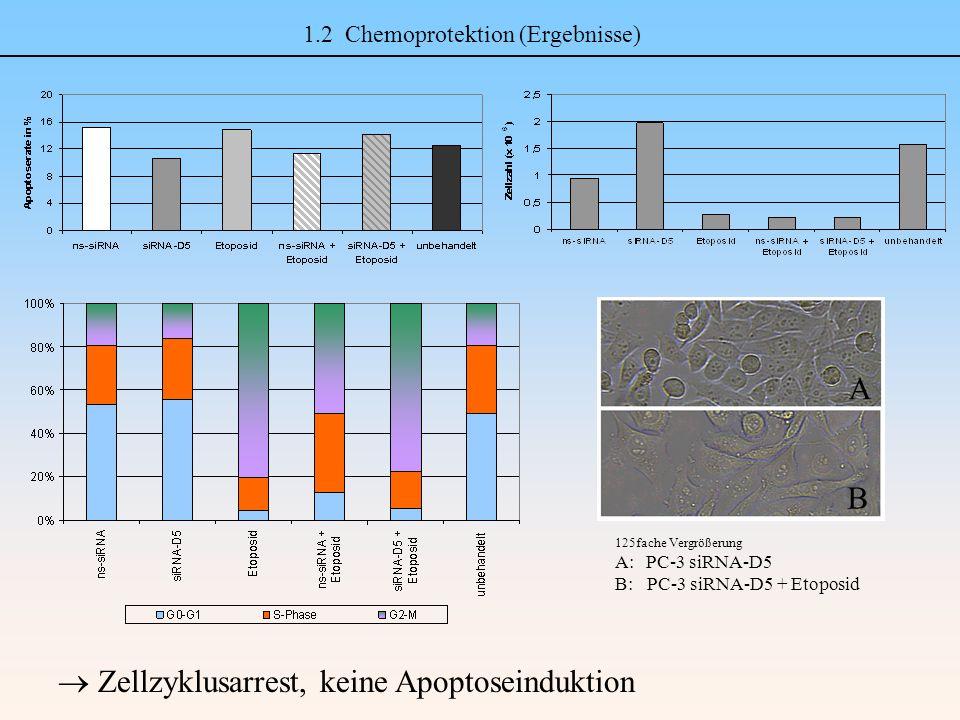 1.2 Chemoprotektion (Ergebnisse) A B 125fache Vergrößerung A: PC-3 siRNA-D5 B: PC-3 siRNA-D5 + Etoposid  Zellzyklusarrest, keine Apoptoseinduktion