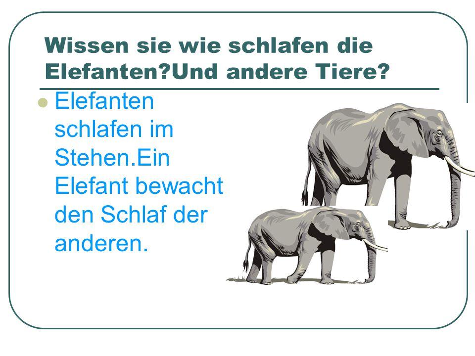 Wissen sie wie schlafen die Elefanten?Und andere Tiere? Elefanten schlafen im Stehen.Ein Elefant bewacht den Schlaf der anderen.