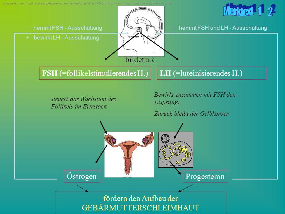 Erstellt durch die ARGE Notebook Biologie & Chemie (Braun, Kunnert, Pichler) FSH (=follikelstimulierendes H.) steuert das Wachstum des Follikels im Ei