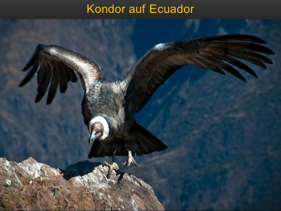 Kondor auf Ecuador