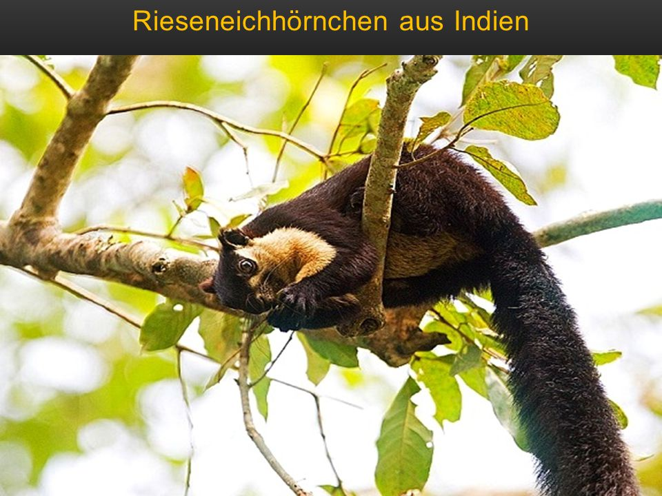 Rieseneichhörnchen aus Indien – bis zu 2 kg schwer