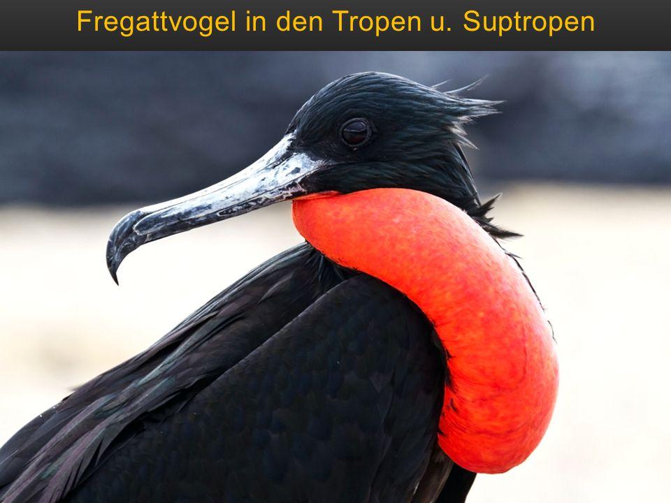 Fregattvogel in den Tropen u. Suptropen