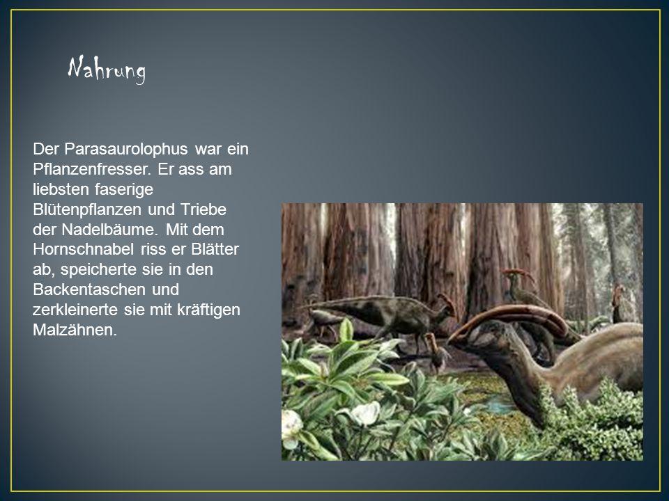 Der Parasaurolophus war ein Pflanzenfresser. Er ass am liebsten faserige Blütenpflanzen und Triebe der Nadelbäume. Mit dem Hornschnabel riss er Blätte