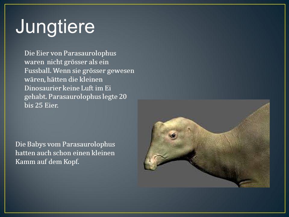 Jungtiere Die Eier von Parasaurolophus waren nicht grösser als ein Fussball. Wenn sie grösser gewesen wären, hätten die kleinen Dinosaurier keine Luft