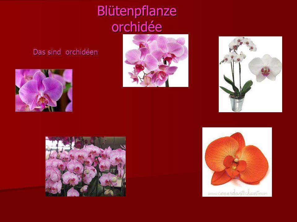 Blütenpflanze orchidée Das sind orchidéen