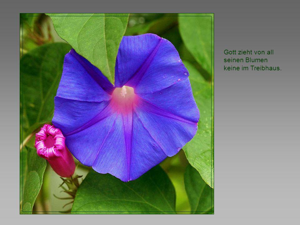 Gott zieht von all seinen Blumen keine im Treibhaus.