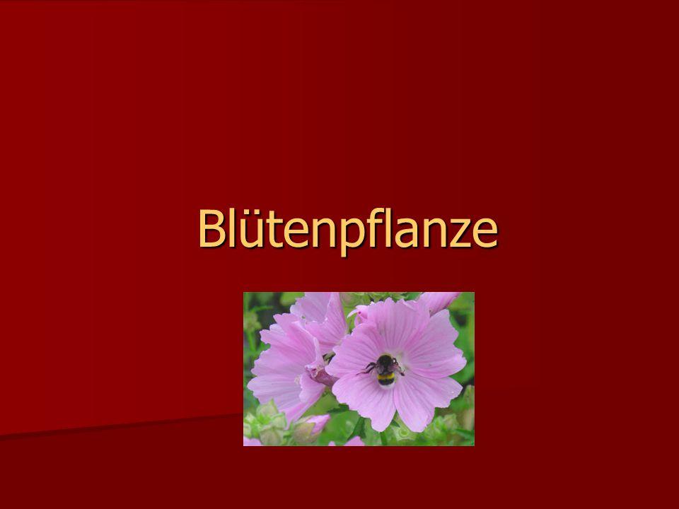 Blütenpflanze Blütenpflanze