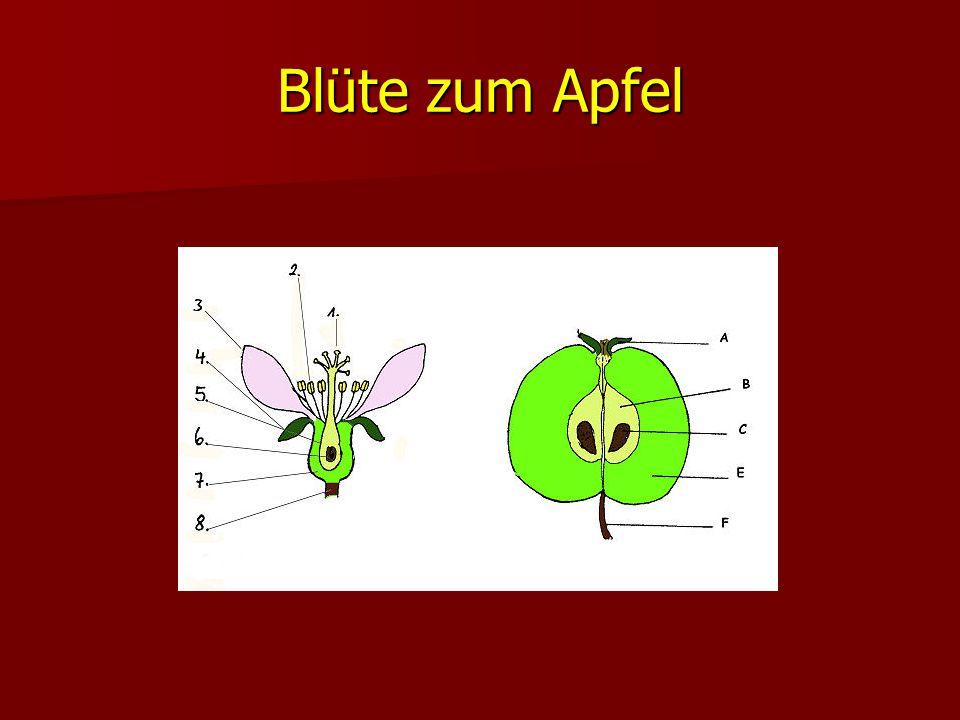 Blüte zum Apfel