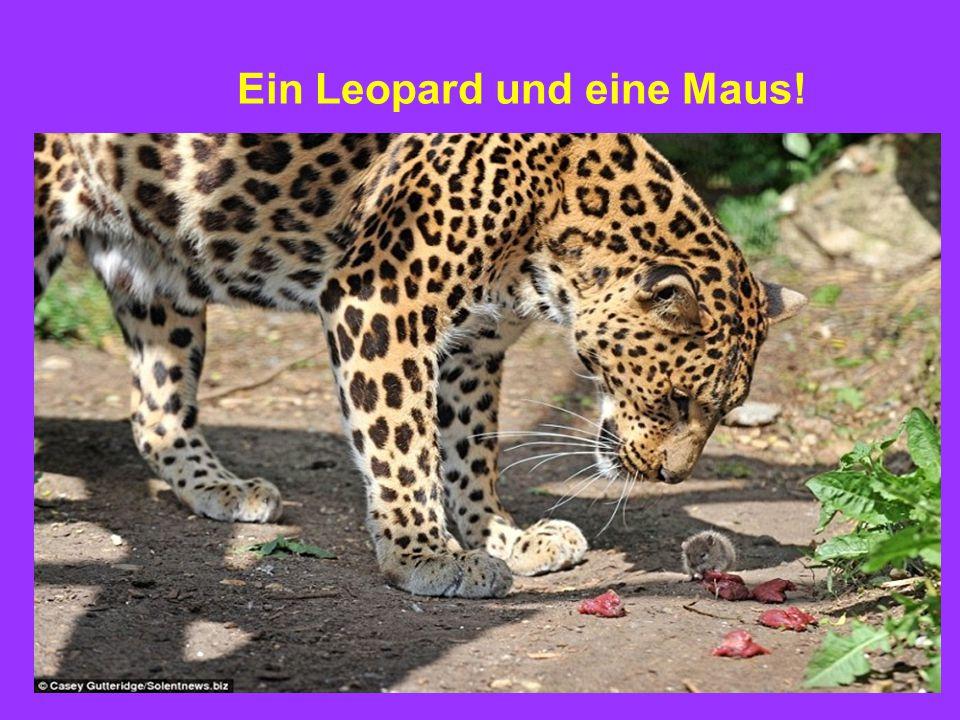 Ein Leopard und eine Maus!