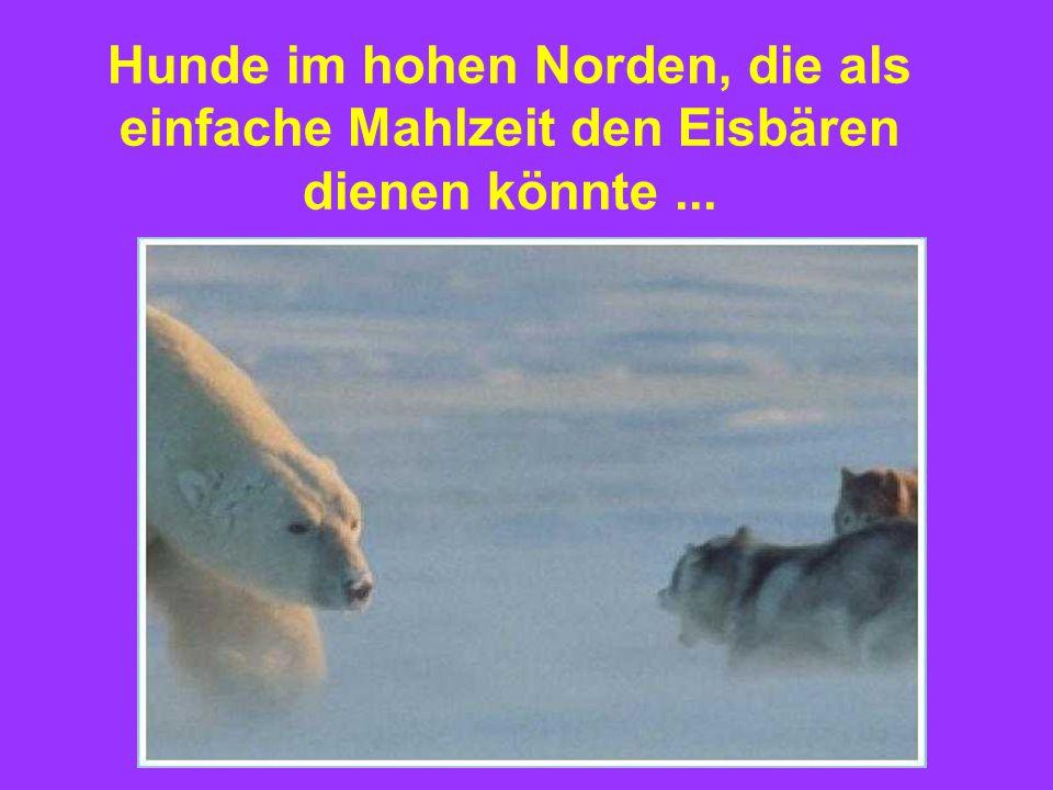 Hunde im hohen Norden, die als einfache Mahlzeit den Eisbären dienen könnte...