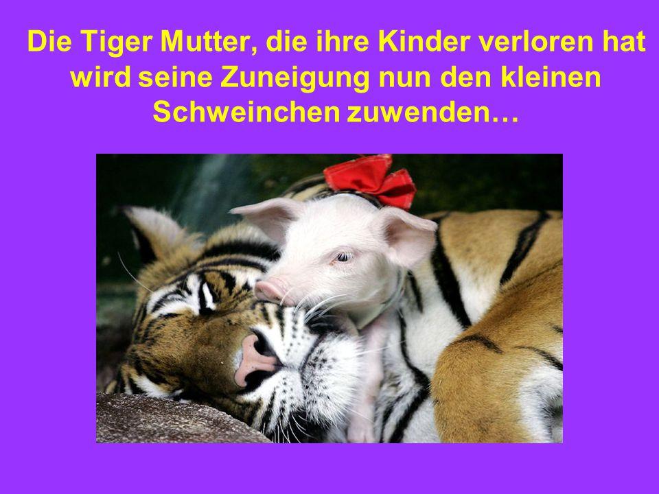 Die Tiger Mutter, die ihre Kinder verloren hat wird seine Zuneigung nun den kleinen Schweinchen zuwenden…