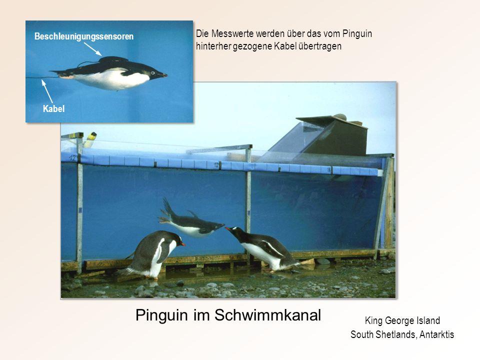 King George Island South Shetlands, Antarktis Pinguin im Schwimmkanal Die Messwerte werden über das vom Pinguin hinterher gezogene Kabel übertragen Kabel