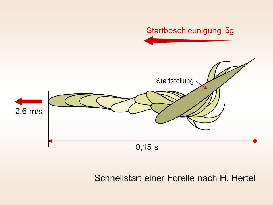 Schnellstart einer Forelle nach H. Hertel 0,15 s 2,6 m/s Startbeschleunigung 5g Startstellung