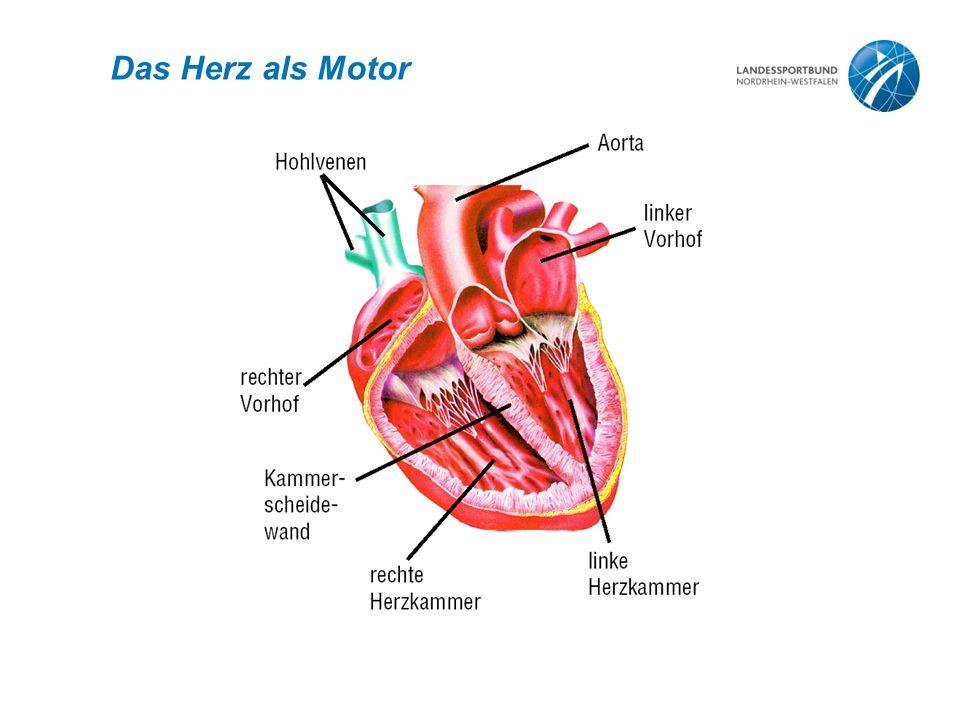Daten zum Herz I Gewicht: 300 g Größe: 12 x 10 cm (Faust) Volumen: 450 – 750 ml 60 – 80 Schläge/Minute 2.500.000.000 Schläge in 70 Jahren 250.000.000 Liter Blut werden ausgeworfen