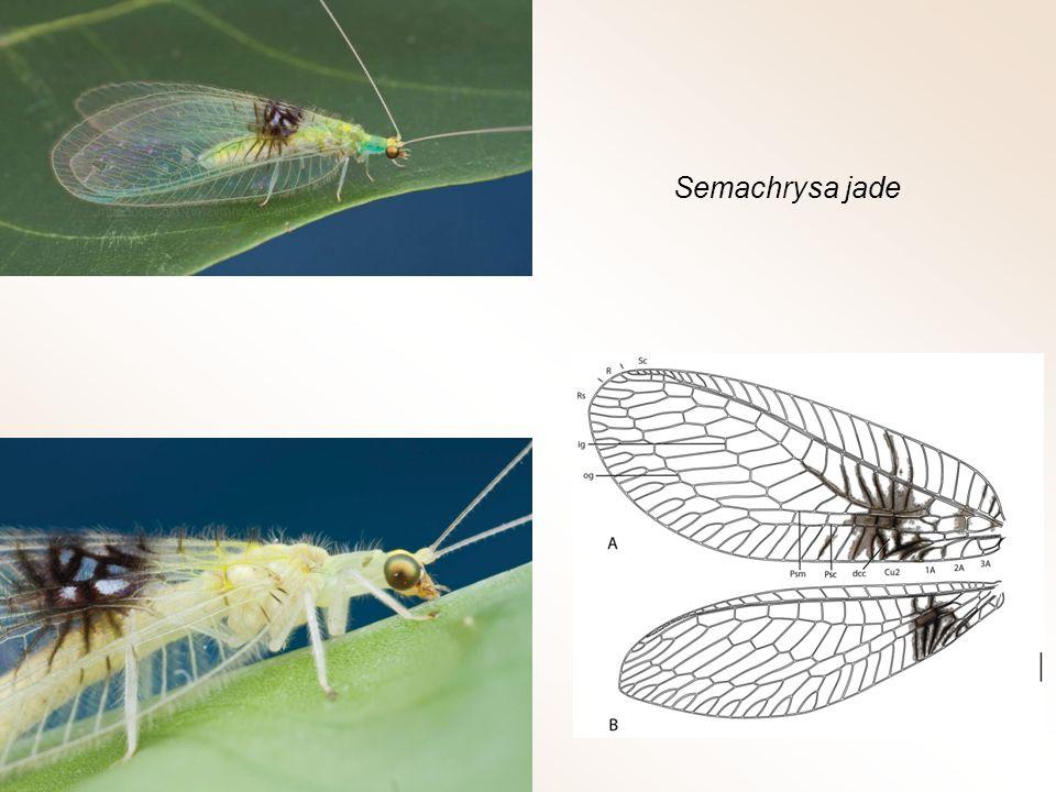Semachrysa jade