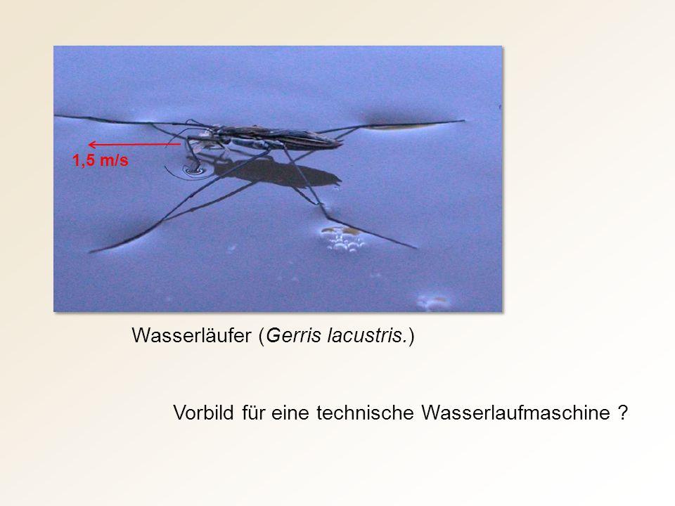 Wasserläufer (Gerris lacustris.) Vorbild für eine technische Wasserlaufmaschine ? 1,5 m/s