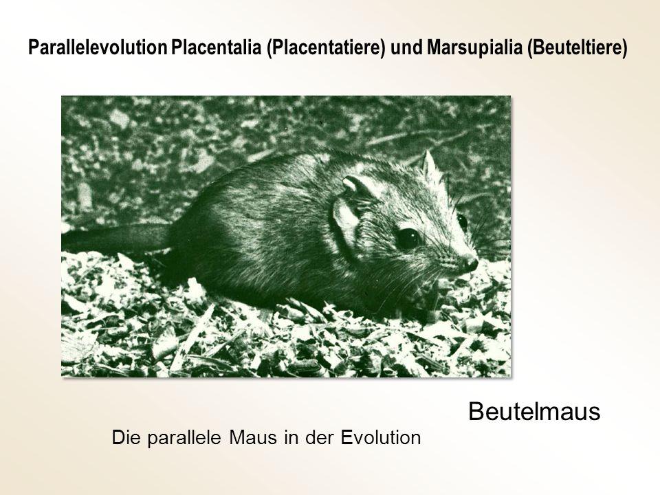 Beutelmaus Die parallele Maus in der Evolution Parallelevolution Placentalia (Placentatiere) und Marsupialia (Beuteltiere)