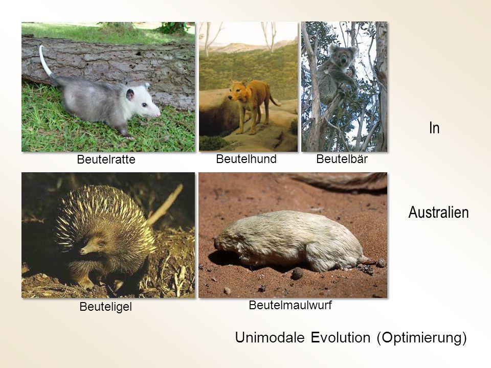 Beuteligel Beutelratte Beutelhund Beutelmaulwurf Unimodale Evolution (Optimierung) Beutelbär Australien In