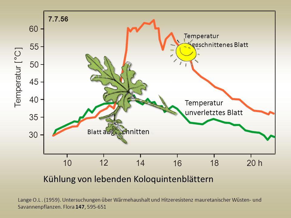 Kühlung von lebenden Koloquintenblättern Lange O.L. (1959). Untersuchungen über Wärmehaushalt und Hitzeresistenz mauretanischer Wüsten- und Savannenpf