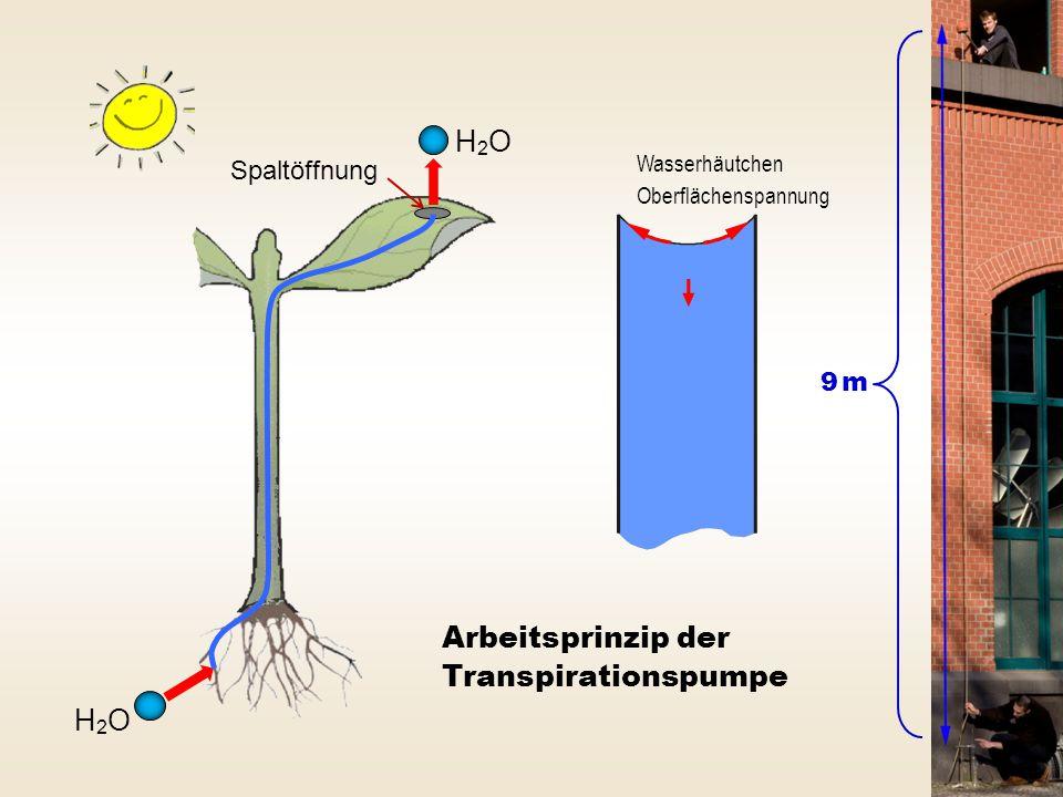 H2OH2O H2OH2O Arbeitsprinzip der Transpirationspumpe Spaltöffnung 9 m9 m Wasserhäutchen Oberflächenspannung