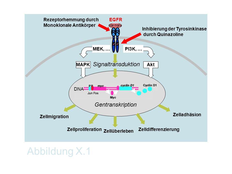 Abbildung X.1 Gentranskription Zelladhäsion Zellmigration ZellproliferationZelldifferenzierung Zellüberleben Signaltransduktion EGF/TGFα R R K K Rezep
