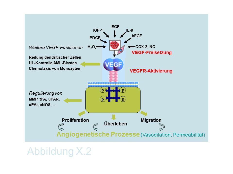 Abbildung X.2 pp pp VEGFR-Aktivierung VEGF-Freisetzung Überleben ProliferationMigration Weitere VEGF-Funktionen Reifung dendritischer Zellen ÜL-Kontro