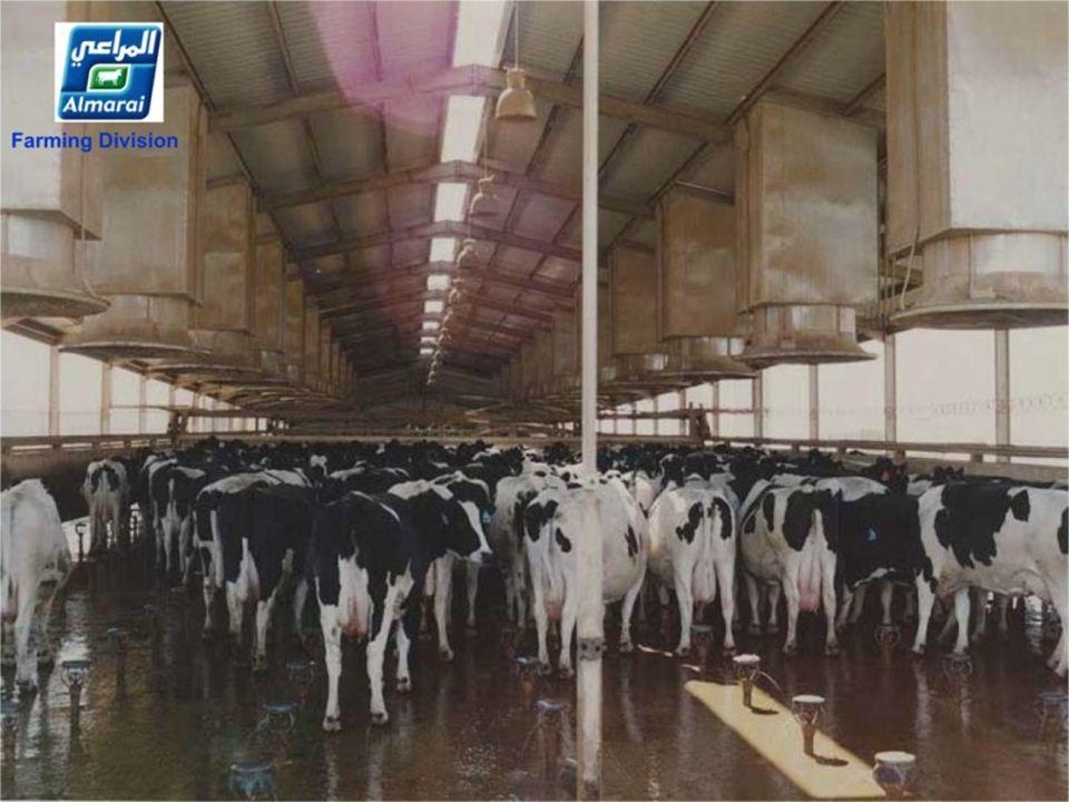De koeien krijgen 2 maal stortbad van 6 min. Die Kühe bekommen 2 mal eine Dusche von 6 min. Die Kühe bekommen 2 mal eine Dusche von 6 min.............