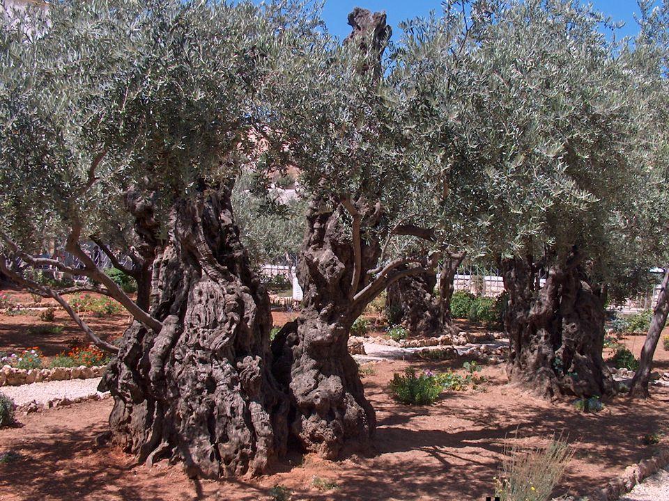 Garten Gethsemane am Ölberg