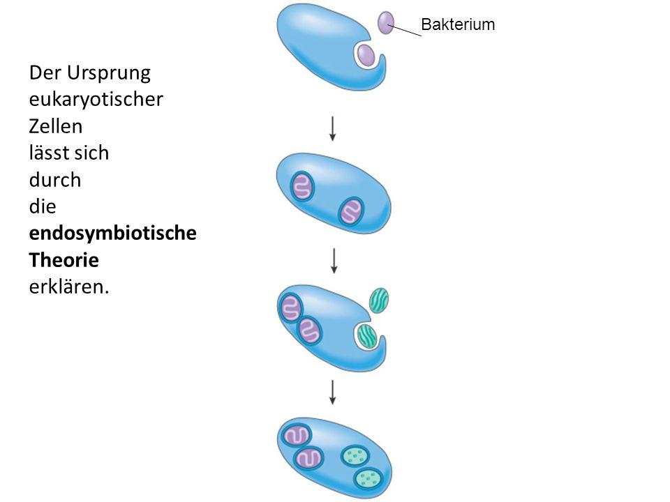 Beweise für die endosymbiotische Theorie Gemeinsamkeiten zwischen Mitochondrien, Chloroplasten und Bakterien: – DNA – 70S Ribosomen Doppelte Membran von Chloroplasten und Mitochondrien