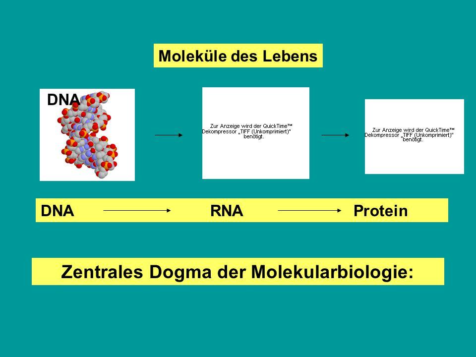 Moleküle des Lebens DNA Zentrales Dogma der Molekularbiologie: DNA RNA Protein